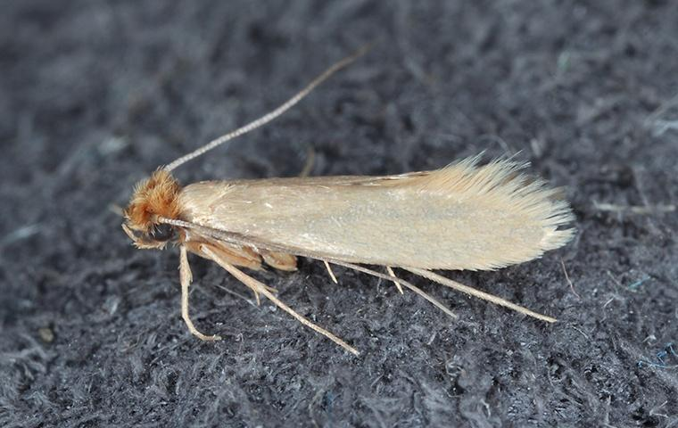 a webbing clothes moth on a sweater in a home in elizabeth city north carolina