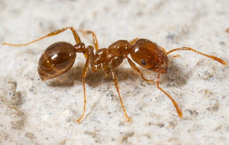 fire ant up close in north carolina