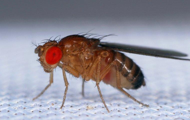 fruit flies up close