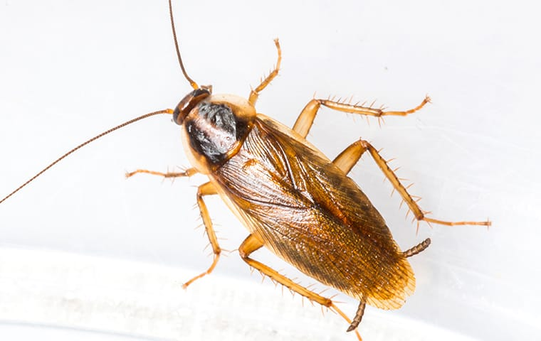 german cockroach on white background