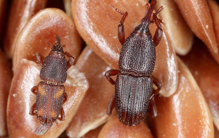 two grain weevils on grain