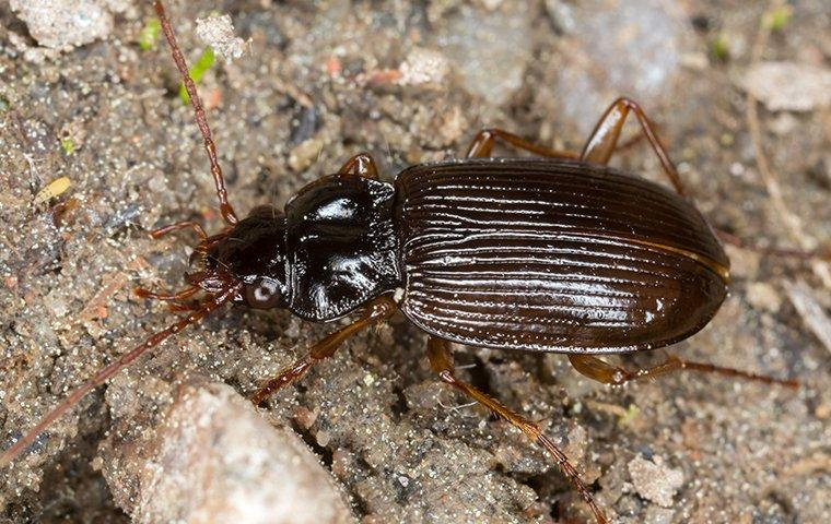 ground beetle up close
