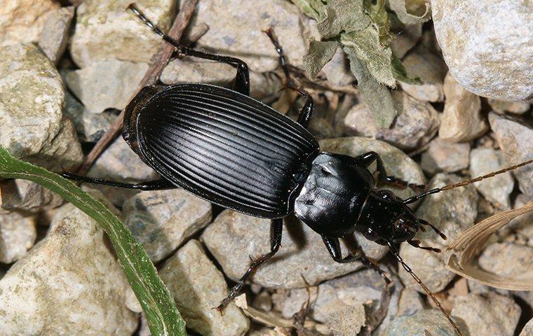 ground beetles in garden