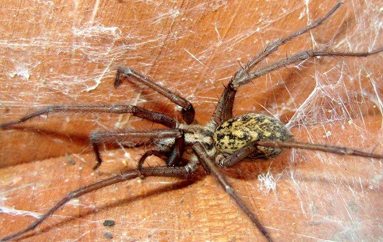 hobo spider in web