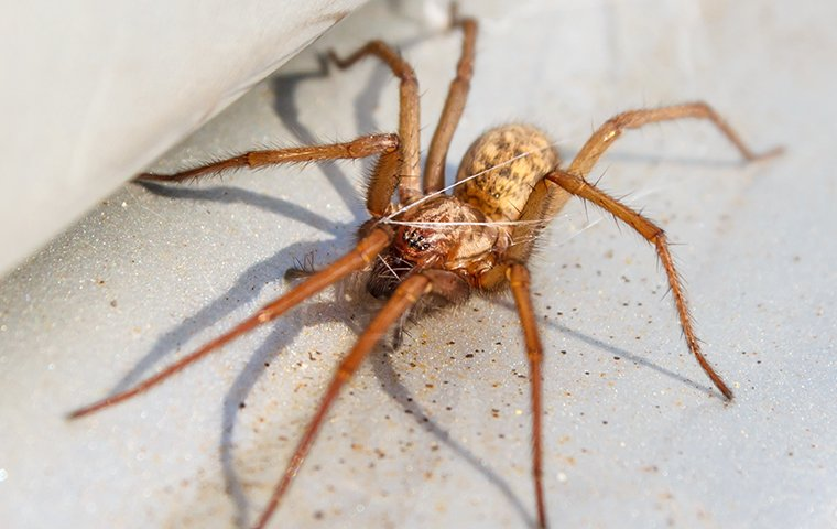 hobo spider spinning web
