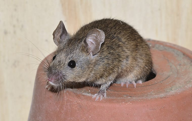 house mouse on a flower pot