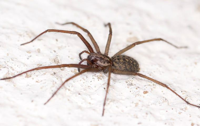house spider in north carolina home