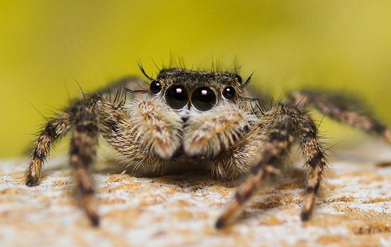 jumping spider up close