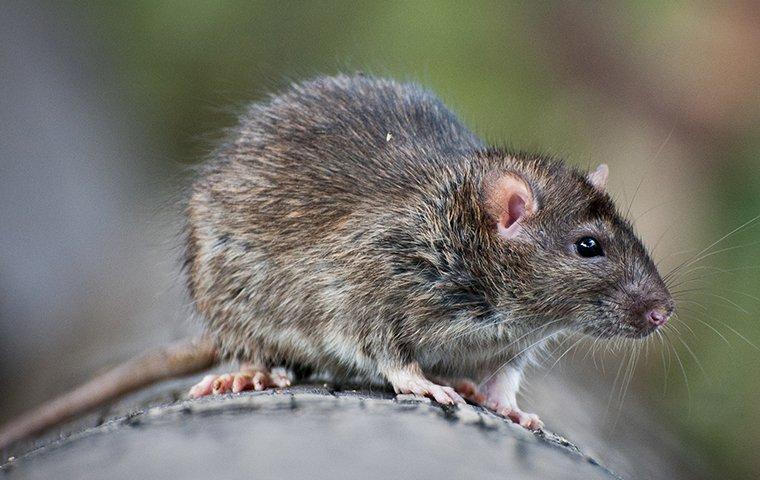 norway rat on tree limb