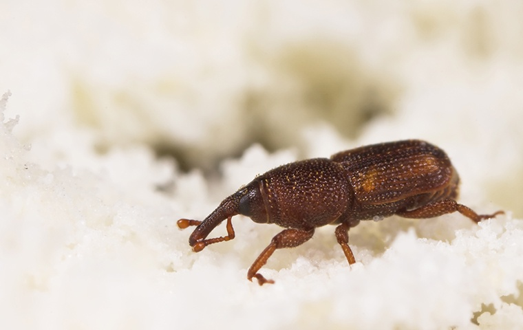 a weevil crawling on rice in a home in elizabeth city north carolina