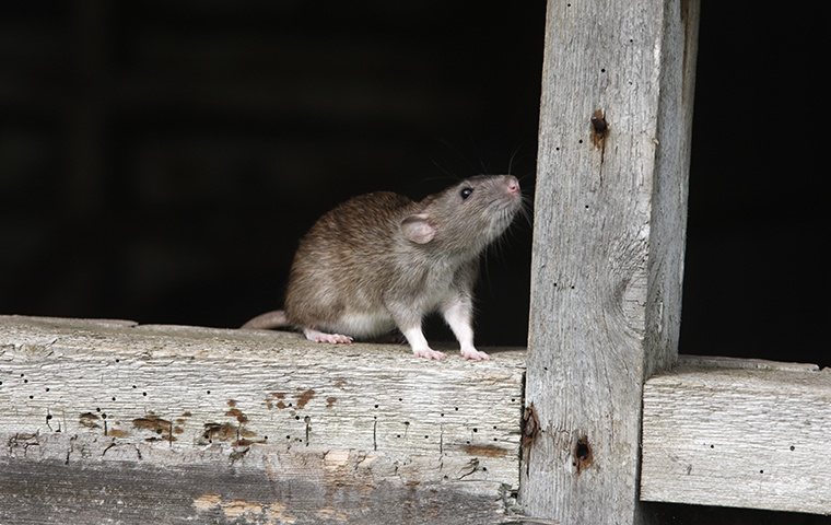 a large rat on a fence outside of a home in ahoskie north carolina
