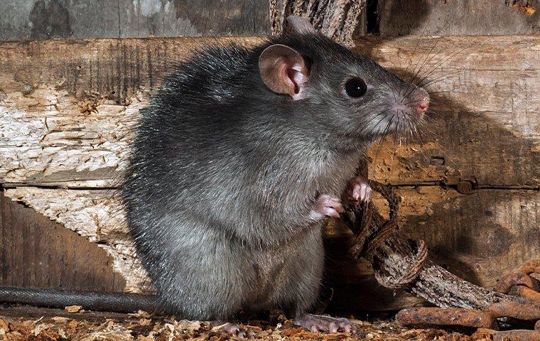 roof rat in north carolina home