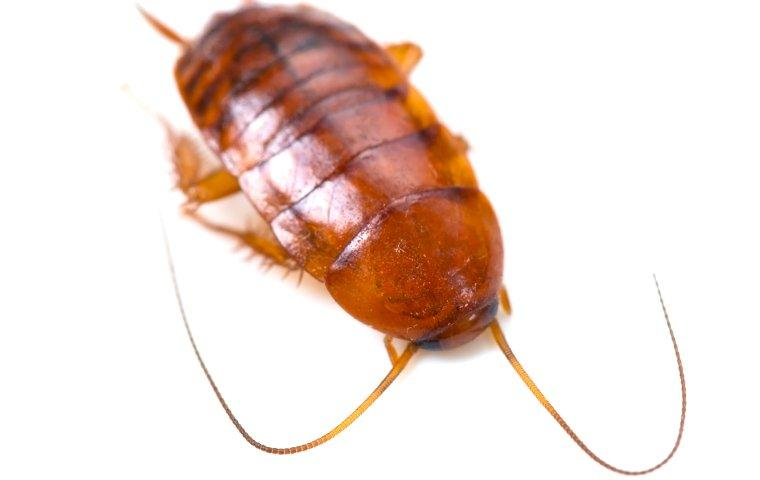 smokybrown cockroach on white background