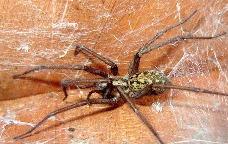 a large spider on a couch in a home in elizabeth city north carolina
