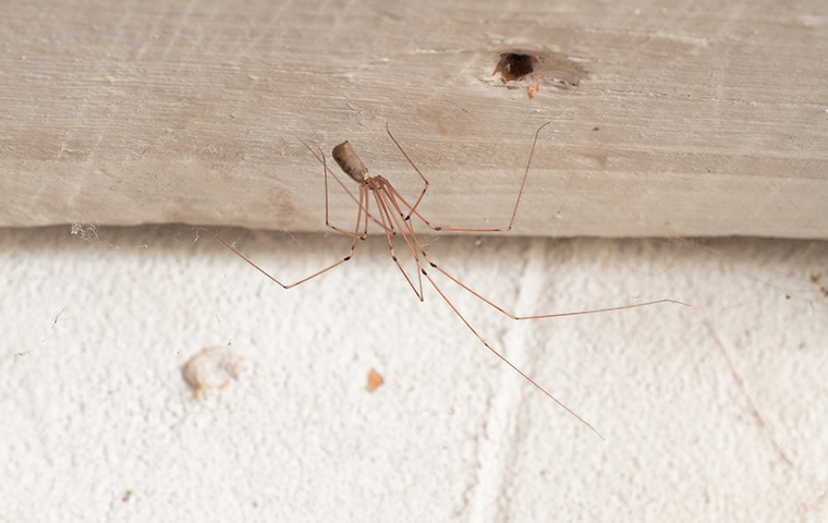 a daddy longlegs spider crawling on the ceiling of a home in chesapeake virginia