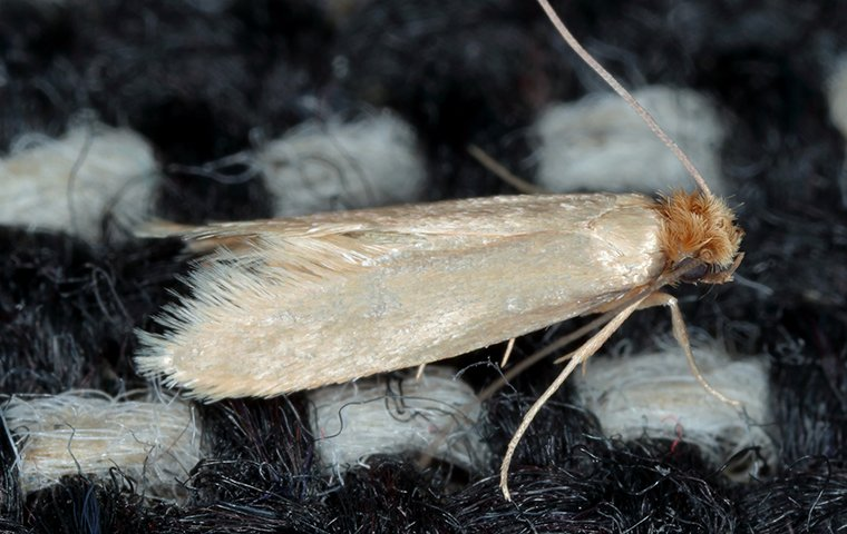 webbing clothes moth on a rug