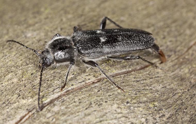 a powderpost beetle crawling on damaged wood in a home in elizabeth city north carolina