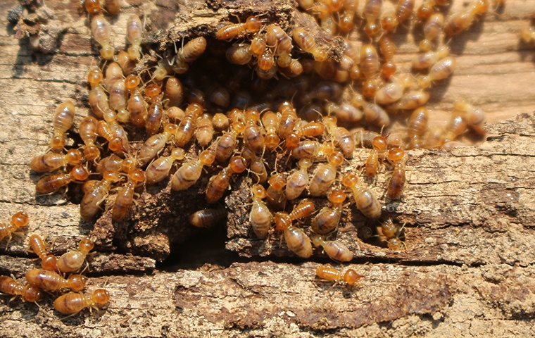 hundreds of termites crawling on damaged wood at a home in elizabeth city north carolina