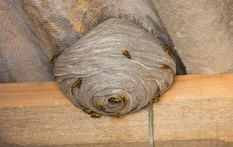 a stinging insect nest