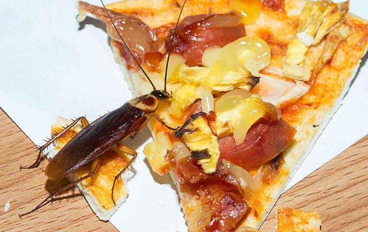 american cockroach eating pizza