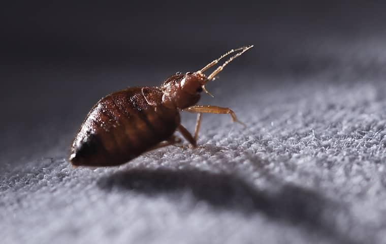 a bed bug indoors on fabric