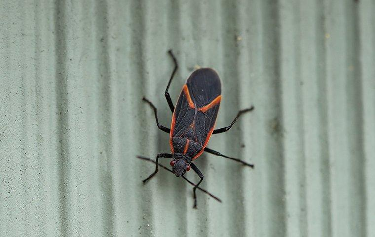 box elder bug on a wall