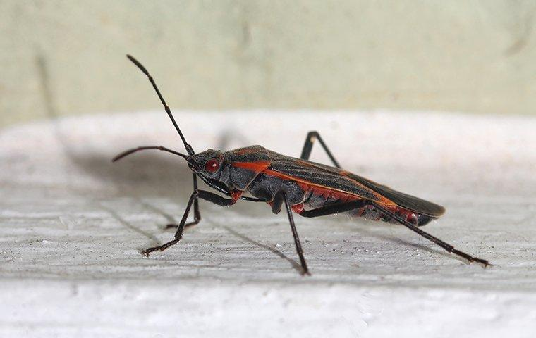 box elder bug on home trim