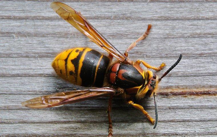 hornet on a gray board