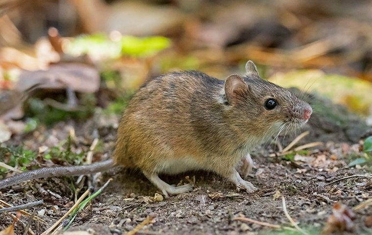 a house mouse outside