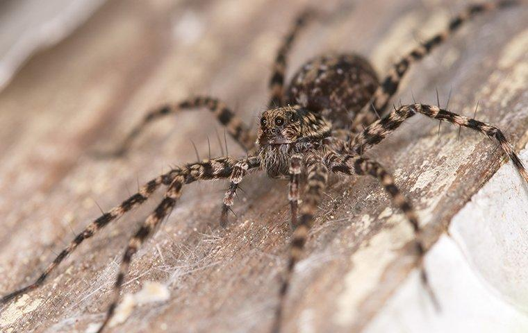 a wolf spider on wood surface