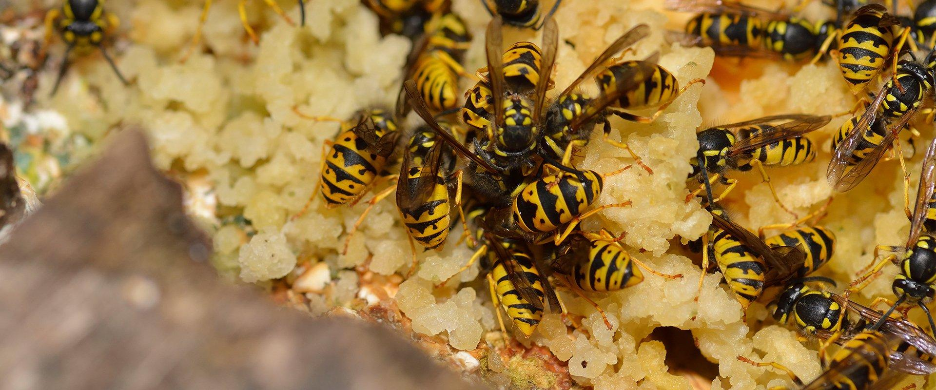 wasps eating food