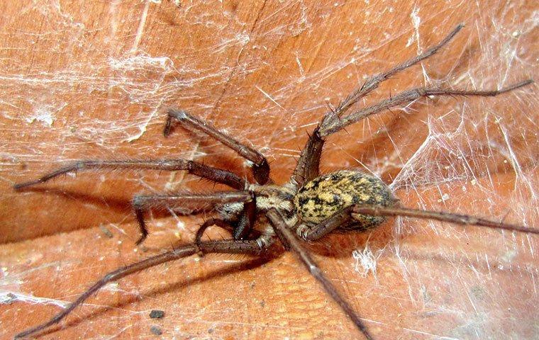 hobo spider in web
