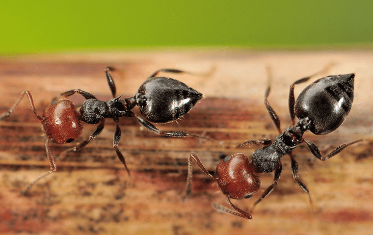 two acrobat ants on wood inside of a jacksonville florida home