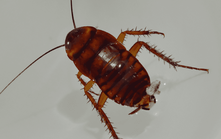 an australian cockroach in a home in jacksonville florida