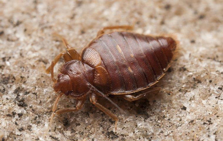 a bed bug crawling on a surface in a home in baldwin florida