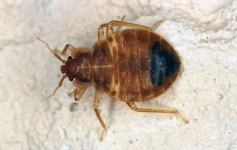 a bed bug in a home in fruit cove florida