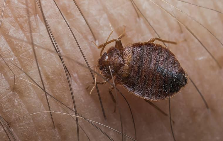 a bed bug on the skin of a person in palm valley florida
