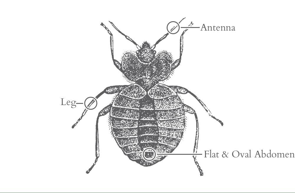 illustration of a bed bug in florida
