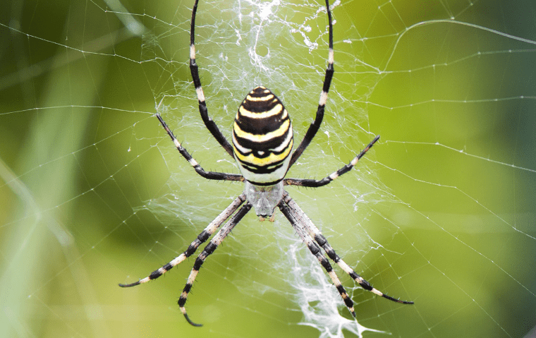 a black and yellow garden spider in a florida yard