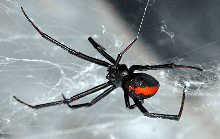 a black widow spider in its web in jacksonville florida