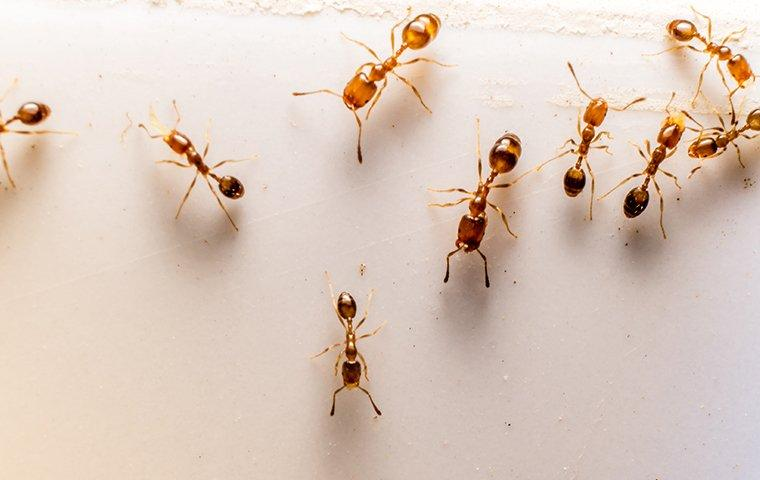 an ant infestataion in a house