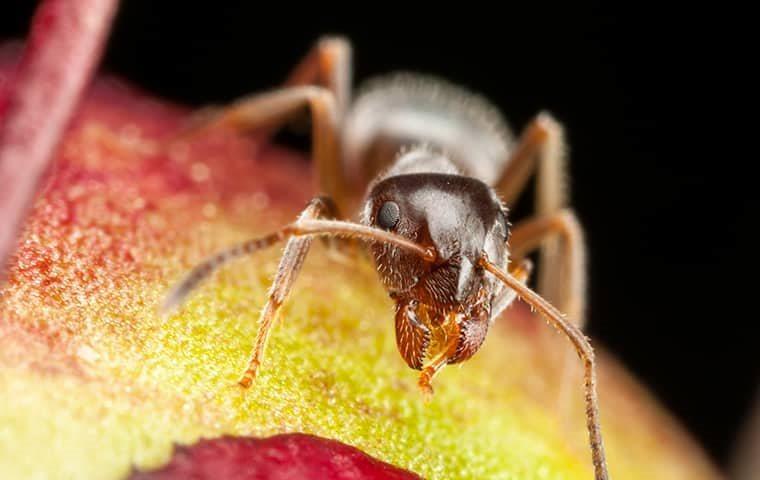 ant eating a peach