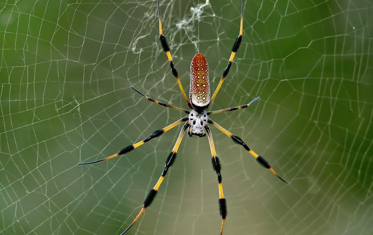 a banana spider outside on a porch in jacksonville florida