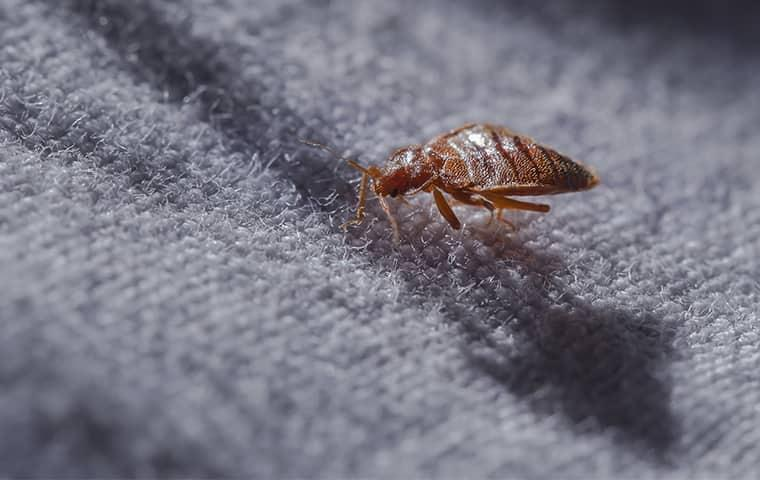 a biting bed bug scawling along the white linens of a jacksonville residential bed in the dark of the night