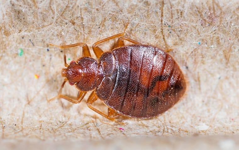 bed bug in jacksonville home