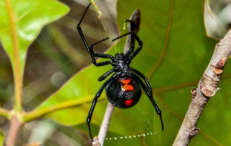 a black widow spider on her web in a garden