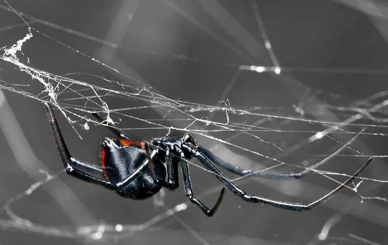 a black widow spider hilding onto a web upside-down along a jacksonville porch