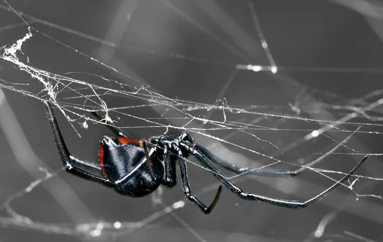a black widow spider hilding onto a web upside-down along a jacksonville porch