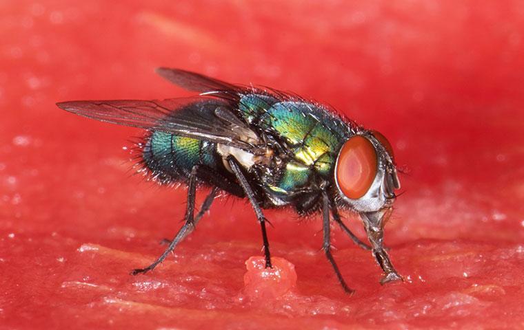 bottle fly on watermelon