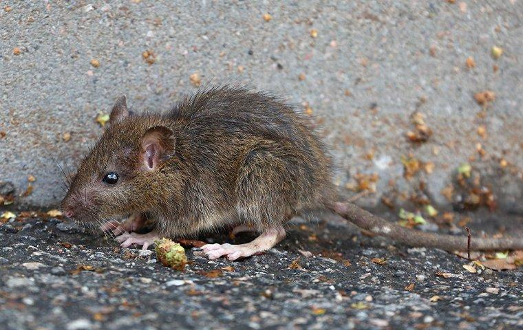 a brown norway rat outside